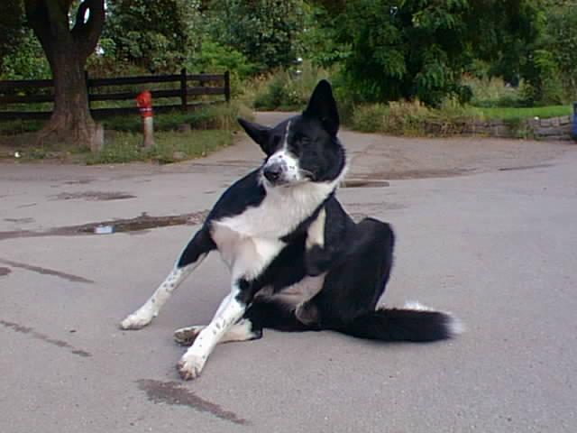 groenlaenderhund2